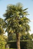 Trachycarpus Fortunei Stock Afbeeldingen