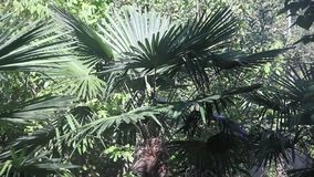 Trachycarpus stock video footage