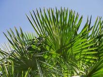 Trachycarpusfortunei dichtbij Stock Fotografie