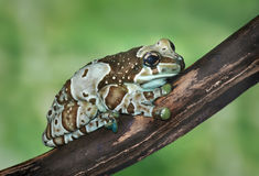 Trachycephalus resinifictrix (Harlequin frog) Stock Image