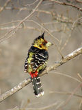 Trachyphonus vaillantii Crested Barbet. Photographed at Kruger national park Stock Images