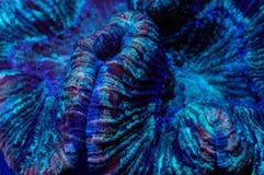 Trachyphyllia Brain Coral Imagens de Stock Royalty Free