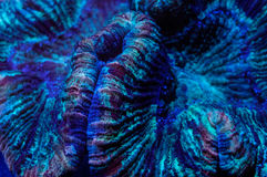 Trachyphyllia Brain Coral  Royalty Free Stock Images