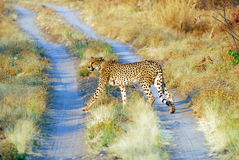 On track. A cheetah walking on an offroad track Stock Photography