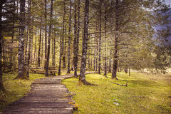 Track. Alpine forest at an altitude of over 2,000 meters Royalty Free Stock Photos