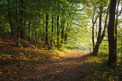 TRACK THROUGH AUTUMNAL FOREST. Scenic view of track receding through Autumnal forest under sunlight Stock Image