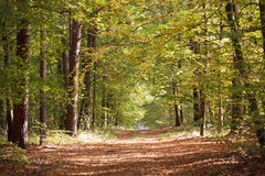 TRACK THROUGH AUTUMNAL FOREST. Scenic view of track receding through Autumnal forest under sunlight Royalty Free Stock Photography