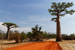 A track through the baobabs Royalty Free Stock Image