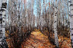 Track in birch grove Royalty Free Stock Photos