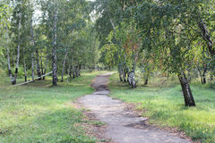 Track among birches Stock Photography