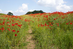 Track through field of poppies Royalty Free Stock Photography