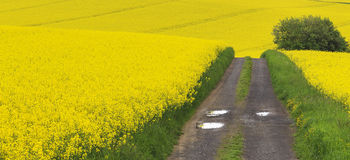 Track through fields of oil seed rape Royalty Free Stock Photos