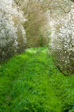 Track or footpath in spring. Rural footpath or track in spring wityh blossom and sun Stock Photography