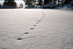 Track of footsteps animals on the white snow Royalty Free Stock Photography