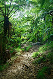 Track through jungle. Scenic view of track receding through trees and ferns in jungle or forest, Reunion Island National Park Royalty Free Stock Photography