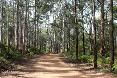Track in Karri Forest near Augusta West Australia. The red dirt track winds through the tall trees in the Karri Forest near Augusta Western Australia which reach royalty free stock images