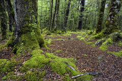 Track through moss covered trees, Fiordland National Park, South Island, New Zealand Royalty Free Stock Image