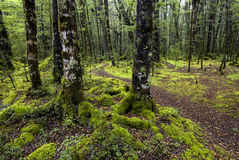 Track through moss covered trees, Fiordland National Park, South Island, New Zealand Stock Photo