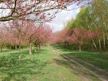 Track through and orchard in spring. With pink blossom on trees Royalty Free Stock Photography