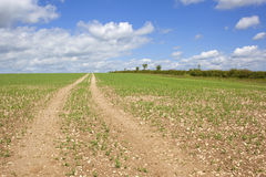 Track through a pea field. Summer landscape with ble sky and clouds over a field of young peas on the chalky soil of the yorkshire wolds in the north of england Royalty Free Stock Photo