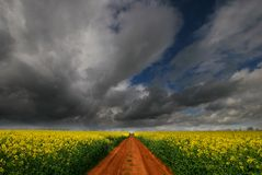 Track through Rapeseed flower field Stock Photos