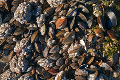 Mussels and sea acorns Royalty Free Stock Images