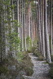 Track through Scots Pine at Abernethy Forest in Scotland. Track through Scots Pine at Abernethy Forest in the Cairngorms national Park of Scotland royalty free stock photography