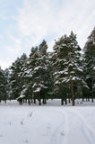 Track in the snow between snow-covered pines Royalty Free Stock Image