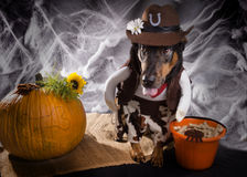 Track Or Trick. Dog dressed as a cowboy next to a pumpkin and a Royalty Free Stock Image