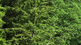Tracking along forest treetops aerial. Video of tracking along forest treetops aerial stock video footage