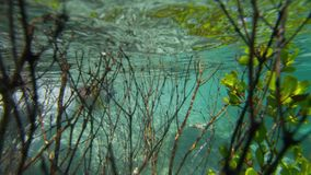 Tracking a diver through mangroves. An underwater tracking shot of a diver swimming past the mangroves stock video footage