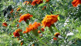 Tracking focus over Marigold field stock video footage
