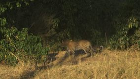 Tracking shot of an adult leopard walking into undergrowth vegetation at masai mara game reserve. Kenya stock footage