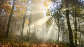 Beautiful sunrays in a misty autumn forest stock footage