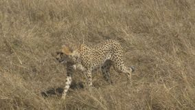 Tracking shot of a cheetah walking to the left in masai mara