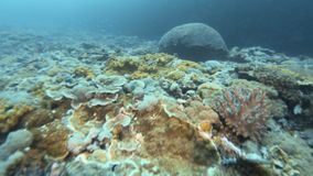 Different fishes swimming on coral reefs. A tracking shot of fishes swimming freely on coral reefs. Different kinds of fishes swims on the coral reefs stock video