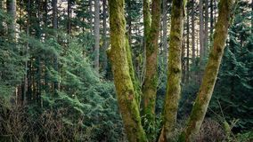Passing Group Of Mossy Trees In Evening Forest. Tracking shot passing a group of trees in the forest in the afternoon stock footage