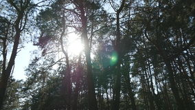 Tracking shot in a thick deciduous forest. Sun glimmering through tree. Forest with sunrays shining. Sun rays light stock video