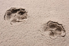 Tracks. Animal's tracks on wet sand stock photos