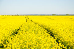 Tracks Through Canola Field Royalty Free Stock Photography