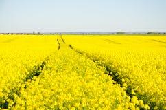 Tracks Through Canola Field royalty free stock photography