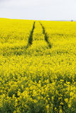 Tracks in Canola field Royalty Free Stock Photography