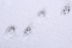 Tracks of cat on the snow Royalty Free Stock Image