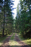 Tracks in a coniferous forest Stock Image