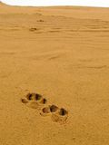 Tracks in desert. Dog's tracks in sand desert Royalty Free Stock Images