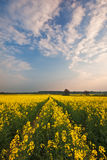 Tracks through field of oilseed rape Stock Photo