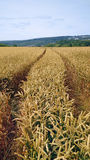 Tracks in a field of wheat Stock Images