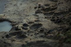Tracks of a future king. The tracks of a young male lion that came down to drink from a mud puddle in the bush royalty free stock photos