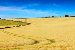 Tracks in a golden barley field Stock Photos