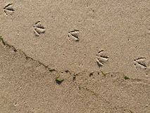 Tracks of a gull in sand Royalty Free Stock Images